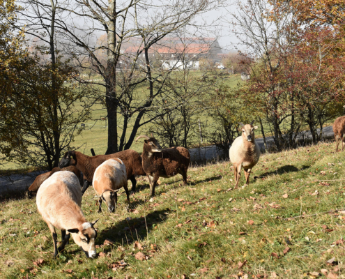 Wildschafe im Herbst am Jugendhaus Berghof