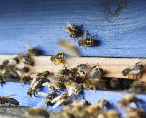 Bienen bestäuben die Obstbäume und Blumen