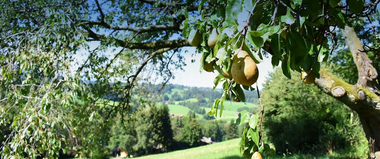 Alter Birnbaum am Südhang