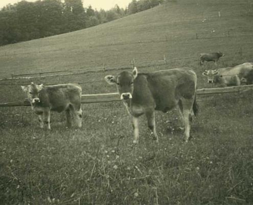 Anton Zugliani hielt Graubeln – eine Allgäuer Rinderrasse