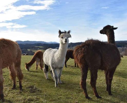 Die Alpakas und Lamas von Liz Hanus